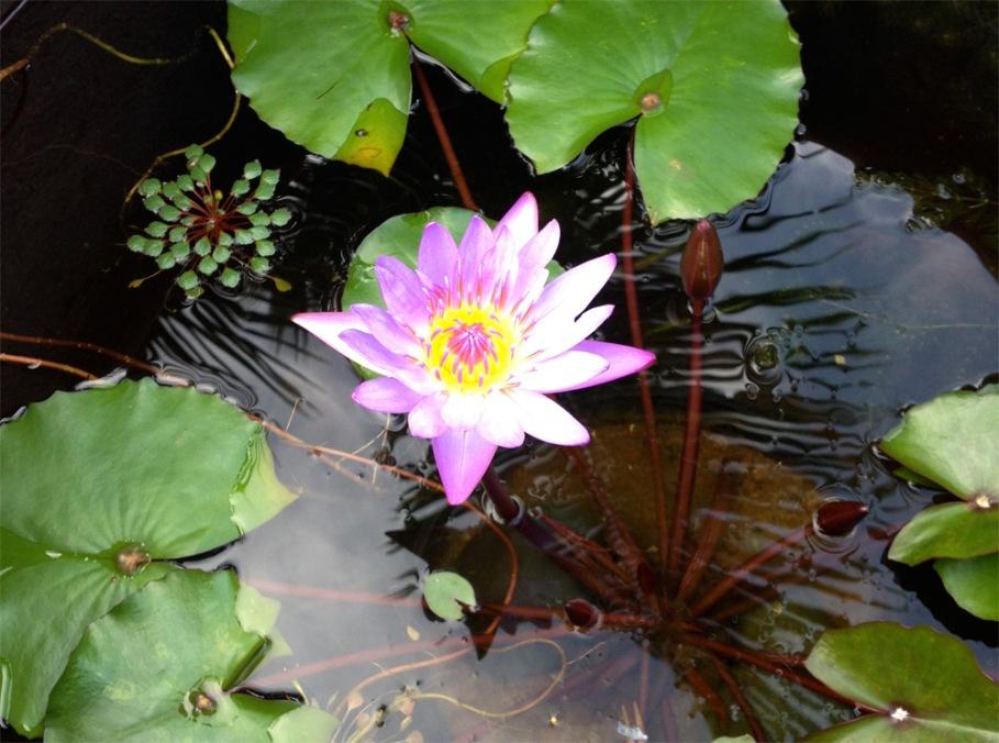Pink Lotus Bliss